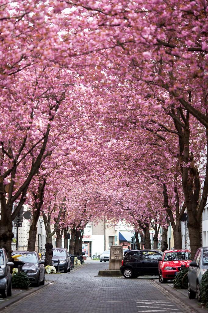 Kirschblüte-4706