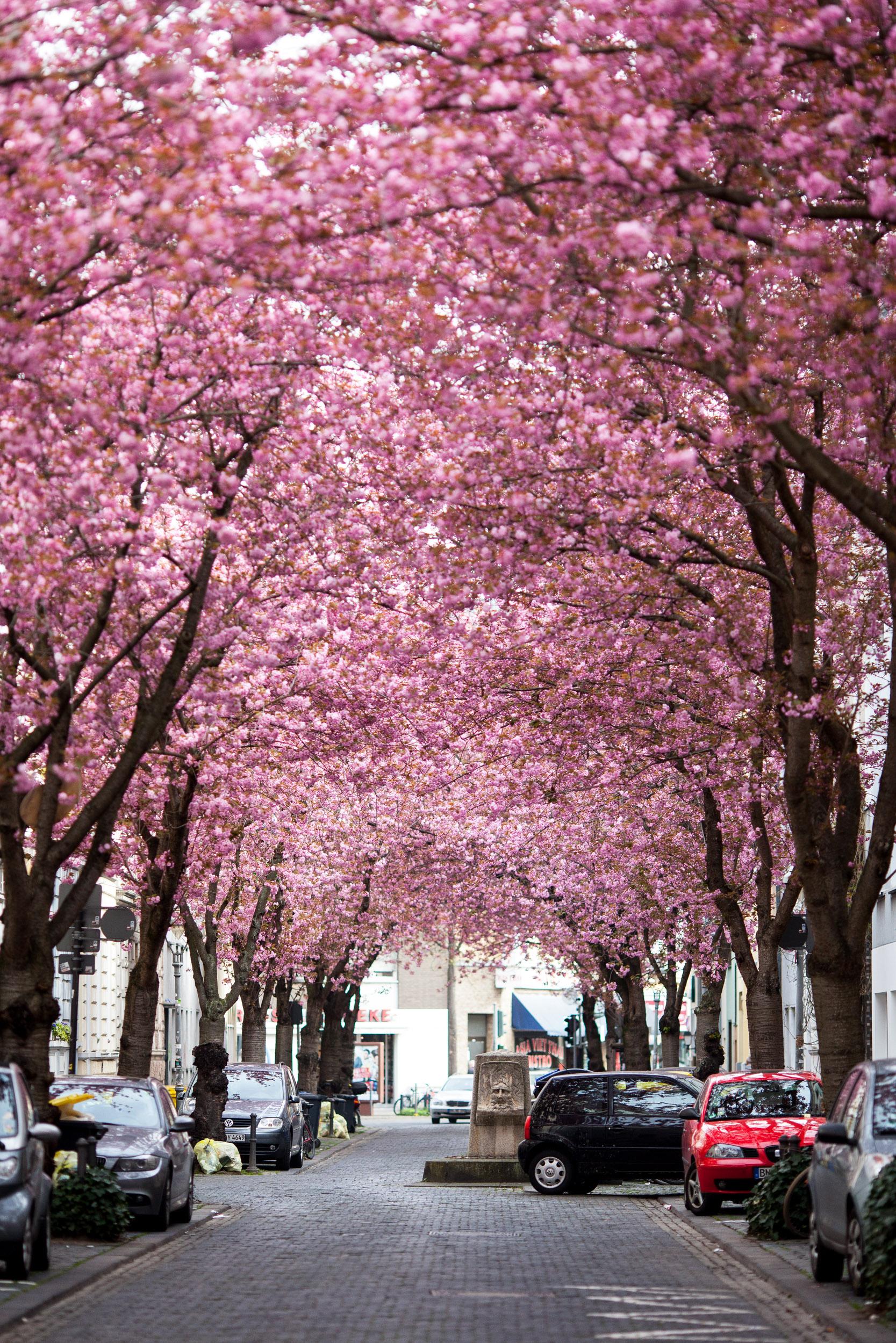 Kirschblüte in der Bonner Altstadt   MSKH